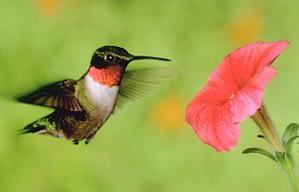 hummingbird_616